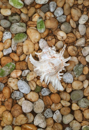 Vertical Image of Natural Branched Murex Shell on the Pebble Stone Ground