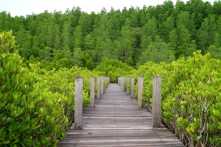 Nature boardwalk through the bright green Spurred Mangrove or Indian Mangrove forest of Rayong province in Thailand Stock Photo