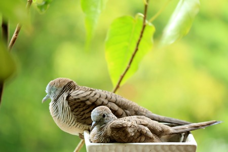 Mother Wild Zebra Dove and Her Child Relaxing Side by Side on a Planter at the Balcony Small Garden, Blurred Background