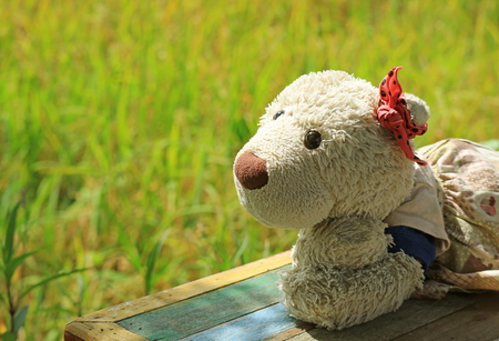 Enjoy sunlight beside the paddy field with ripe rice plants, a girl polar bear soft toy on wooden bench with blurred background