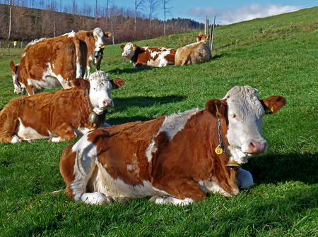 Many Brown and White Cows Relaxing on the Green Meadow in the Countryside of Bavaria, Germany