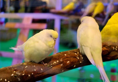 Sleeping Pastel Yellow Color Lovebirds, Selective Focus with Copy Space Stock Photo