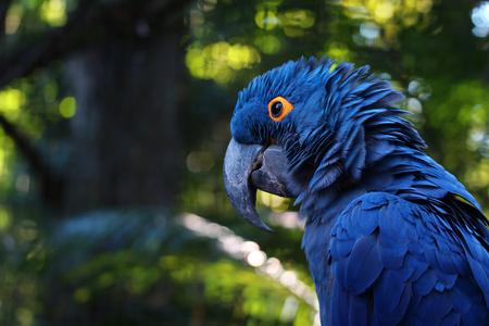 생생한 블루 히아신스 잉 꼬, 흐린 배경으로 푸른 앵무새 초상화 닫습니다 스톡 콘텐츠 - 104490375