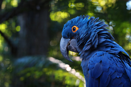 Close up of vivid blue Hyacinth Macaw, blue parrot portrait with blurred background