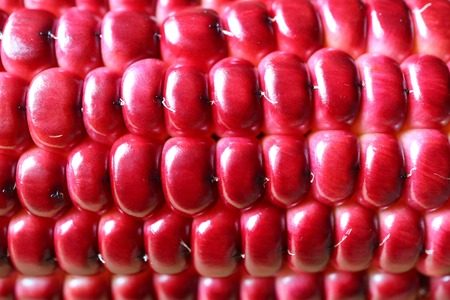 Macro shot of the beautiful vibrant magenta color of purple corn kernels on the cob