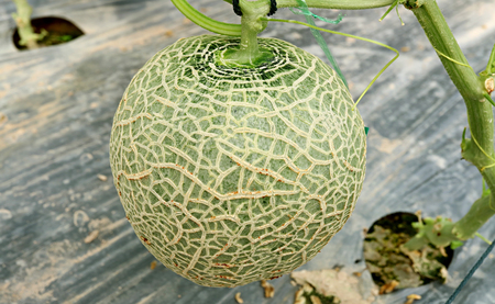 Fresh Cantaloupe Fruit or Muskmelon on the Tree in the Greenhouse of Nakornnayok Province, Thailand