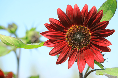Closed Up Blooming Deep Red Sunflower Against Sunny Blue Sky