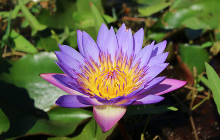 Closed Up a Vibrant Purple Lotus Flower Blooming in the Sunlight with Blurred Green Leaves in Background