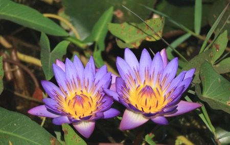 Pair of Vibrant Purple Lotus Flowers Blooming in the Sunlight with Blurred Green Leaves in Background