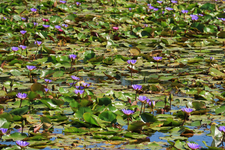 Pond Filled with Blooming Vibrant Purple and Pink Lotus Flowers, Thailand