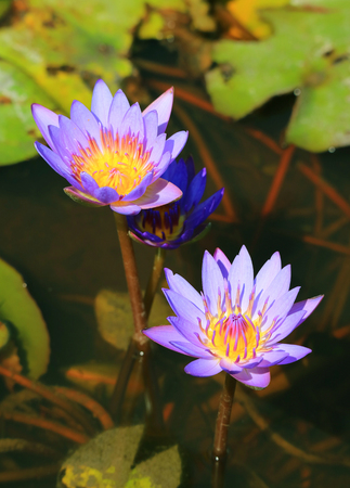 Vertical Image of Two Blooming Purple Lotus Flowers in the Pond with Blurred Green Leaves in Background