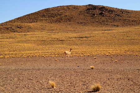 Wild Vicuna at the Foothills of the Chilean Andes, Los Flamencos National Reserve, San Pedro de Atacama, Antofagasta Region, Chile Stok Fotoğraf