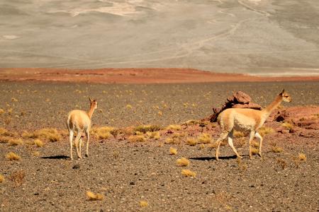 Pair Wild Vicuna Grazing on the Expanse Desert of Los Flamencos National Reserve, San Pedro de Atacama, Antofagasta, Chile
