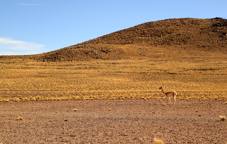 One wild Vicuna at the foothills of the Chilean Andes, Atacama desert, Chile