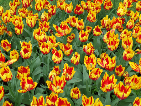 Vivid Color Mickey Mouse Tulips, One of the Oldest Group of Tulips in Cultivation 版權商用圖片