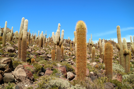 Uncountable Giant Cactus Plants against Sunny Blue Sky at Isla del Pescado or Isla Incahuasi, Rocky Outcrop on Uyuni Salt Flats, Bolivia, South America