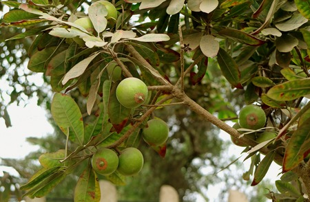 Bunch of Lucuma Fruits Ripening on Its Tree in the Garden, Lima, Peru, South America