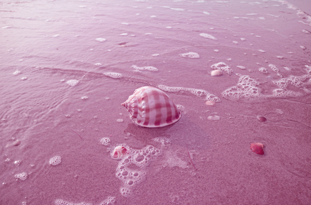 Scotch Bonnet Shell Isolate on Sand Beach with Seafoam in Pastel Magenta Color