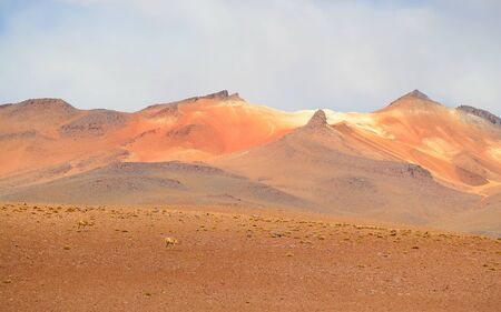 Two wild Vicunas at the Andes foothills of Bolivian Altiplano, Bolivia, South America 写真素材