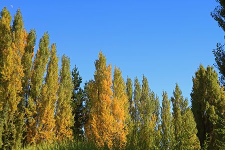 Fall Foliage of the Poplar Trees under Vibrant Blue Sunny Sky