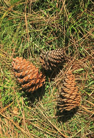 Dry pine cones on the pile of fallen pine needles in the sunlight 写真素材