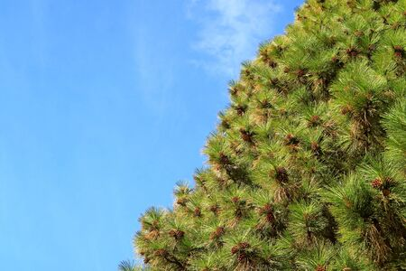 Evergreen foliage of a pine tree with uncountable cones against sunny blue sky
