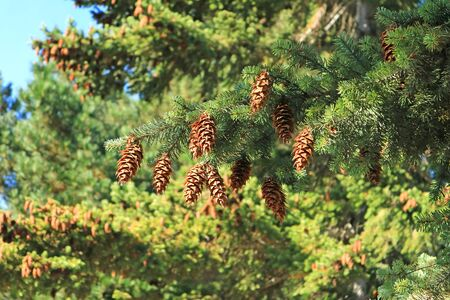 Many of pine cones hanging on evergreen pine tree in the autumn sunlight of Patagonia, Argentina 写真素材