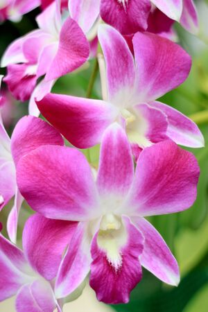 Vertical Image of Bunch of Vibrant Pink and White Blooming Orchid Flowers