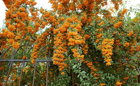 Bunches of Berry-like Fruits of the Orange Firethorn (Pyracantha) Hedging Plants 写真素材