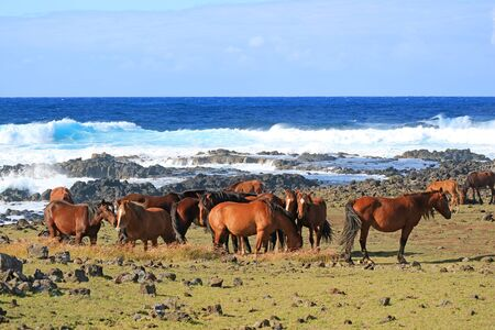 Large Group of wild horses grazing at the coast of wavy Pacific ocean, Easter island, Chile, South America Stock Photo