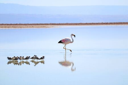 Closeup a Beautiful Flamingo with Group of Baby Birds of Andean Avocets in Chaxa Lagoon, Part of Salar de Atacama Salt Flat in Antofagasta Region, Northern Chile 免版税图像