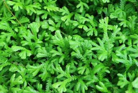 Vibrant green foliage of the evergreen shrubs with selective focus