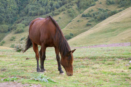 One brown wild horse grazing in a foothills meadow Stok Fotoğraf