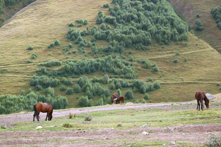 Horses and Donkeys Grazing in the Field of Caucasus Mountain Foothills