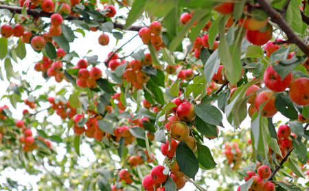 Uncountable Vibrant Red Crab Apple Fruits Growing on the Tree 스톡 콘텐츠