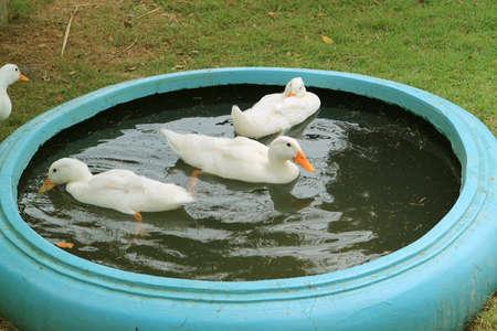 Group of White Pekin Ducks Relaxing in a Backyard Basin