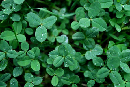 Three-leaf Clovers with Water Droplet on Shamrock Field after the Rain Stock fotó - 155450844