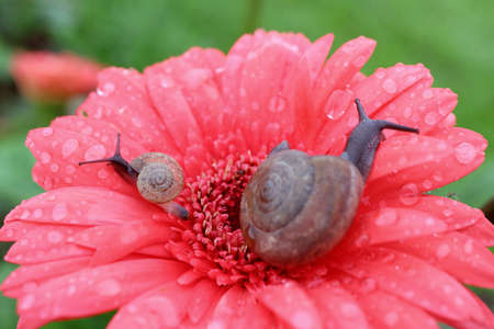 Closeup mother snail and baby snail relaxing on a vibrant pink blooming Gerbera flower full of dewdrops on its petals