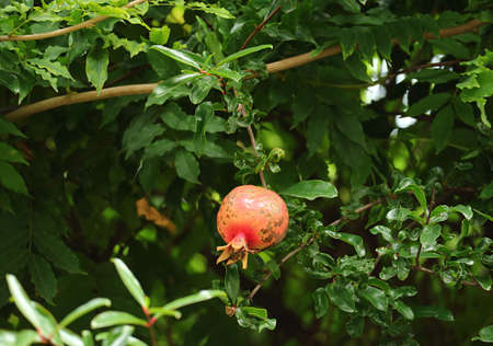 One Red Pomegranate Fruit Growing among Green Foliage