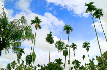 Low Angle of Large Group of Tall Palm Trees against Cloudy Blue Sky