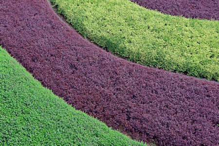 Curve pattern of purple and green ornamental shrubs in the garden for abstract background