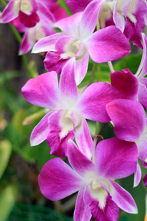 Bunch of Vivid Pink Dendrobium Orchid Flowers Blooming on the Tree 免版税图像