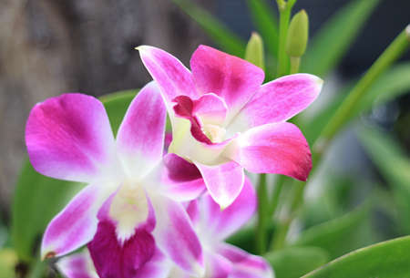 Closeup Vibrant Pink Dendrobium Orchid Flowers Blooming on the Tree 免版税图像
