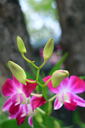 Closeup Bright Green Buds of Dendrobium Orchid with Blurry Blooming Hot Pink Flowers