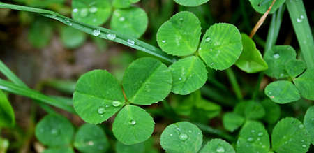 Closeup of Three-leaf Clovers with Water Droplet on Shamrock Field after the Rain Imagens