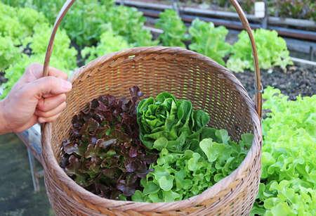 Farmer's Hand Holding a Basket of Fresh Harvested Assorted Lettuces Imagens