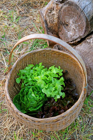 Basket of Fresh Harvested Lettuces on the Dry Straws Covered Ground