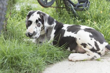 great dane harlequin: Great Dane Harlequin puppy