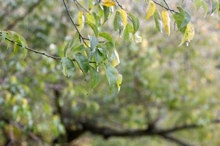 samanea saman: leaf and tree ,noon time Stock Photo