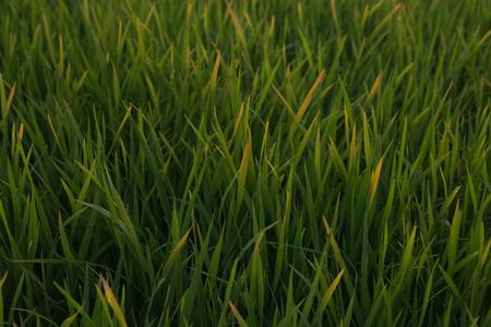 terraced: Green Terraced Rice Field in Chiang Mai , Thailand